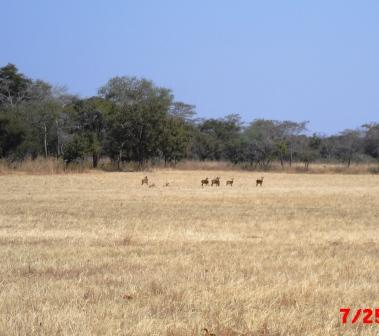 Puku Antelope at Laliya